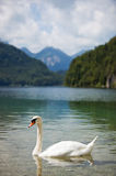 Alps lake with swan. Focus on swan Stock Photo