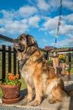 Alps mountain dog in Austria Stock Photos