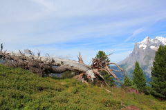 Alps, mountains with fallen tree above Grindelwald. View the Wetterhorn and fallen tree. Above Grindelwald. Mountain landscape in Switzerland Stock Photo