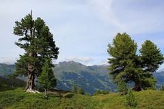Alps, mountains with trees above Grindelwald. View at mountains and trees above Grindelwald. Berner Oberland in Switzerland. Hiking down from Maennlichen to royalty free stock image