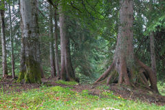 Alps spruce forest Stock Photography