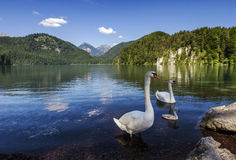 Alpsee Lake and Swans family in Fussen, Bavaria, Germany stock images