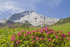 Alpspitze and rhodendron. Flowering shrubs of the Alpine Rose in front of the Alpspitze stock image