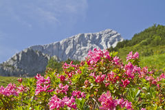 Alpspitze and rhodendron. Flowering shrubs of the Alpine Rose in front of the Alpspitze royalty free stock image