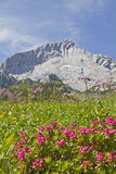 Alpspitze and rhodendron. Flowering alpine rose bushes in front of the Alpspitze royalty free stock image