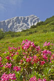 Alpspitze with rhododendrons. Flowering shrubs in front of the mountain Alpspitze royalty free stock photography