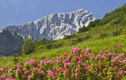 Alpspitze with rhododendrons. Flowering alpine rose bushes in front of the Alpine peaks in Garmisch royalty free stock photography