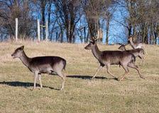 Alqueivado-cervos Imagens de Stock