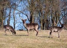 Alqueivado-cervos Fotografia de Stock Royalty Free