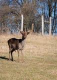 Alqueivado-cervos Foto de Stock
