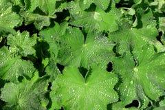 Alquimila, la hierba medicinal, capa de señoras Foto de archivo libre de regalías