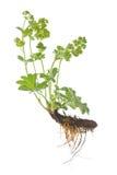 Alquimila vulgaris Imagen de archivo libre de regalías