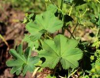 Alquimila vulgaris - una planta medicinal popular, que se utiliza en medicina popular principalmente para el tratamiento de herid foto de archivo