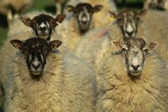 Als de schapen op tennis letten Royalty-vrije Stock Afbeelding