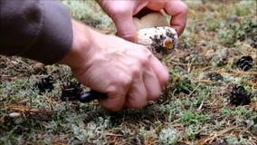 Als paddestoelen uit de grond schietend eekhoorntjesbrood stock footage