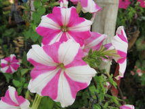 Als rosafarbenes Blumenblatt Lizenzfreies Stockbild