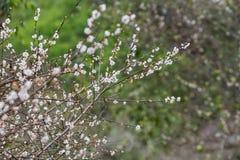 Als Winter kam, blühte Prunus mume Blume mit einem Waldhintergrund stockfotos