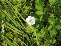 12 67 6000 01 Alsace France mały Biały kwiat Obrazy Stock