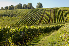 Alsace grapevines stock images