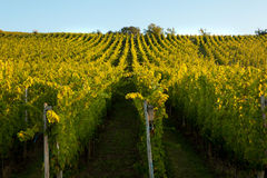 Alsace vines. Vines in a row growing in the Alsace region of France Royalty Free Stock Photography