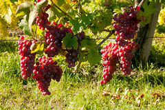 Alsace vineyard grapevine Royalty Free Stock Photos