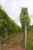 Alsace vineyard Stock Photography