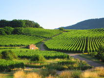 alsace vingård arkivbild