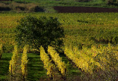 Alsacian vineyards Stock Image