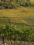 Alsacian vineyards Stock Images