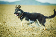 Alsatian Royalty Free Stock Photo