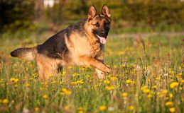 Alsatian Royalty Free Stock Images