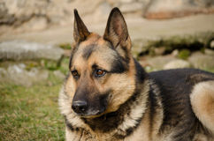 Alsatian Stock Photography