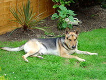 Alsatian in beautiful garden Royalty Free Stock Photos