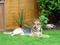 Alsatian in beautiful garden Royalty Free Stock Photo