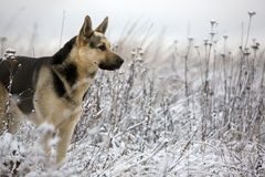 Alsatian dog. At winter field royalty free stock photography