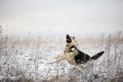 Alsatian dog Stock Photography