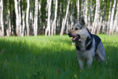 Alsatian dog Stock Image