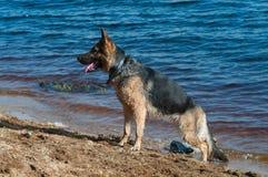 Alsatian dog Stock Photo