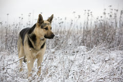 Alsatian dog Royalty Free Stock Images