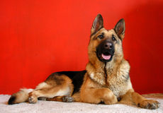Alsatian dog. Lying on carpet before red wall Stock Photo