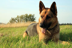 Alsatian dog. Portrait of a beautiful german shepherd or alsatian dog lying in the grass and observation stock images
