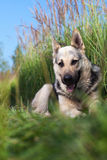 Alsatian dog Royalty Free Stock Photo