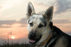 Alsatian dog. Looking at camera with curiosity at sunset Stock Image