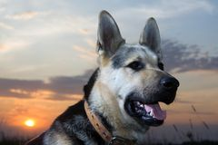 Alsatian dog. Looking at camera with curiosity at sunset Royalty Free Stock Photos