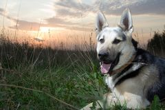 Alsatian dog. Lying at field at sunset and smiling Royalty Free Stock Photos