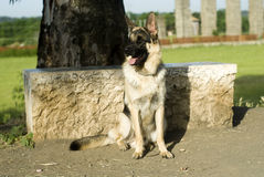 Alsatian dog laying Royalty Free Stock Image