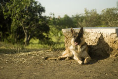 Alsatian dog laying Royalty Free Stock Images