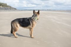 Alsatian dog playing on a sandy beach Royalty Free Stock Photo