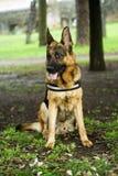 Alsatian dog Royalty Free Stock Photo