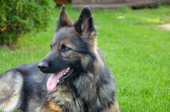 Alsatian dog with protruding tongue Royalty Free Stock Images